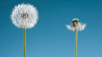 Two dandelions, one that is full and one that has blown away